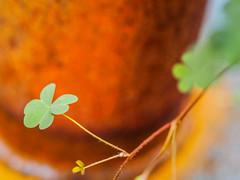 Clover (ildikoannable) Tags: irish macro green nature closeup rust patrick clover stpatricksday irishclover