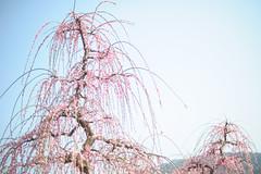 20160305-DSC_1652.jpg (d3_plus) Tags: park street sky plant flower nature festival japan garden 50mm drive nikon scenery plum bloom  odawara nikkor  ume  kanagawa  touring    50mmf14      50mmf14d  nikkor50mmf14 umeblossom     afnikkor50mmf14  50mmf14s d700 kanagawapref nikond700 aiafnikkor50mmf14 nikonaiafnikkor50mmf14