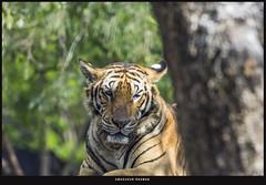 Royal Bengal Tiger. (Masudur Rahman Mamoon) Tags: wildlife mammals wildlifephotography royalbengaltiger