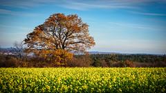 Autumn Tree (Sebastian Bayer) Tags: autumn sky tree clouds forest warm geocaching outdoor herbst himmel wolken olympus wald raps baum rapeseed drausen 4015028 em5markii