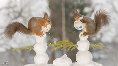 snowman builders (Geert Weggen) Tags: wood winter red sun snow tree cute ice nature look animal closeup backlight mammal rodent stand snowman squirrel funny branch bright head top geert weggen ilobsterit