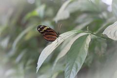 Butterfly (DC P) Tags: macro closeup butterfly insect takumar bokeh super f mm 18 55 smc soe coated multi poc bej multicoated