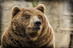 Lazy Bear (Daniel Santom Gallego) Tags: bear animal animals mammal zoo oso galicia lazy animales mammals vigo osos mamfero mamferos vigozoo