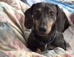 Max Will Not Exit The Comfy Bed! (I Love Badger Dogs!) Tags: ca max cute friend adorable buddy dachshund wiener weiner antioch dachsund wienerdog weinerdog doxe anthonystantonphotography