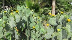 Cacti at the Alamo, San Antonio. (dckellyphoto) Tags: flowers cactus plant flower sanantonio texas spike spine spines alamo spikes 2016