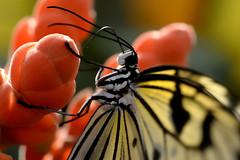 Papillons en Libert 2016 - Photo 37 (Le Chibouki frustr) Tags: macro butterfly insect nikon dof montral bokeh montreal butterflies insects fullframe fx botanicalgarden pdc jardinbotanique homa montrealbotanicalgarden hochelagamaisonneuve closeupfilter closeuplens jardinbotaniquedemontral d610 610 macrophotographie butterfliesgofree papillonsenlibert tamronspaf90mmf28dimacro nikond610 papillonsenlibert2016 butterfliesgofree2016 siximevisite sixthvisit