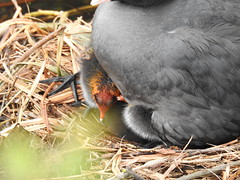 Coot with Chicks (Neil Chatterton) Tags: new river spring nest waterbird chicks coot enfield