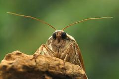 20140214-DSC00854 klein (Medium).jpg (henk.wallays) Tags: macro nature closeup insect wildlife natuur 1999 lepidoptera noctuidae date falter insekt arthropoda insecte aaaa schmetterlinge vlinders insecta nachtvlinder papillondenuit uilen lepidoptere owletmoth macromoths henkwallays  skubvlerkiges    noctuidaespecies
