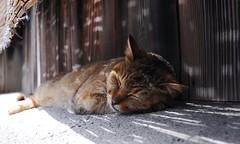 siesta (osho9891742) Tags: japan cat 35mm kyoto    photowalking 20160424