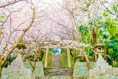 PhoTones Works #7678 (TAKUMA KIMURA) Tags: wood plant flower tree nature japan cherry landscape japanese spring scenery natural outdoor sony blossoms        okayama kimura    takuma   photones rx10m2
