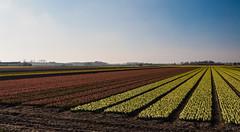 """52-Wochen-Foto-Challenge """"Streifen"""" (Quitschiehund) Tags: stripes farben niederlande streifen krokusse lisse 52wochenfotochallenge"""
