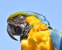 MacCrop (James_Dannelly) Tags: nikon macaw henrydoorlyzoo d600 blueandyellowmacaw