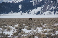 Moose in the park 4 (Aggiewelshes) Tags: travel winter snow mountains landscape scenery moose april wyoming jacksonhole grandtetonnationalpark 2016 gtnp