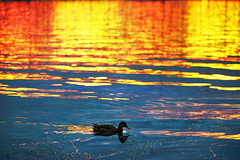 Lady of the lake (petrapetruta) Tags: blue light sunset red water yellow catchycolors gold duck jupiter8 sonya7