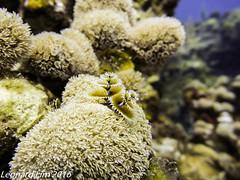 Christmas Tree Worm (l3n2k1) Tags: ocean life christmas blue brown tree yellow coral honduras caribbean aquatic worm roatan