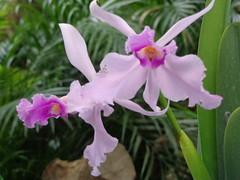 (sftrajan) Tags: orchid flower macro colombia jardimbotnico botanicgarden botanicalgarden medellin jardnbotnico  ortobotanico  orchideen botanischetuin orquideorama botanisktrdgrd jardnbotnicodemedelln sonydsch90 jardnbotnicojoaqunantoniouribe jardnbotnicodemedellin botanicalgardenofmedelln medellnbotanicgarden
