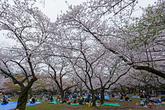 20160405-057-Picnics under Yoyogi-koen cherry blossoms (Roger T Wong) Tags: travel people holiday japan garden balloons tokyo spring picnic crowd harajuku cherryblossoms canonef1740mmf4lusm yoyogikoen 2016 canon1740f4l canoneos6d rogertwong