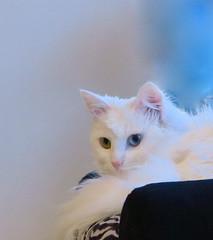 Blue-Green (Anna's 50) Tags: cat feline animal posing eyes canong1x powershotg1x g1x canonpowershot canon compact