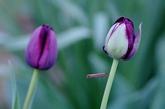 Black Hero Double Tulips (Niki Gunn) Tags: flower macro pentax tulip april tamron 90mm k5 tamron90mm doubletulip 2016 tamron90mmf28 tamron90mmmacro tamronspaf90mmf28