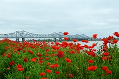 Poppies on the Mississippi River (michaelsteen57) Tags: flowers red mississippi nikon poppies natchez d3200
