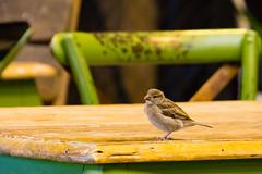TH20150513A603200 (fotografie-heinrich) Tags: ostsee vogel spatz zingst erdbeerhof