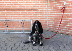 Waiting... (Jaedde & Sis) Tags: red dog corner waiting spaniel unanimous challengeyouwinner challengefactorywinner thechallengefactory