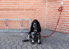 Waiting... (Jaedde & Sis) Tags: red dog corner waiting spaniel unanimous challengeyouwinner challengefactorywinner thechallengefactory