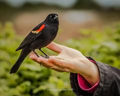 Blackbird in the Hand (mikesa10) Tags: ca canada water birds britishcolumbia delta ladner redwingedblackbird reifelbirdsanctuary deltabc ladnerbc canon6d