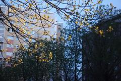 Golden spring leaves 2016-04-16 (Pascal Volk) Tags: berlin leaves evening abend leaf laub blatt berlinlichtenberg landsbergerallee althohenschnhausen sonydscrx100