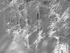 Delicatezze (daniloinnocenti) Tags: snow tuscany neve abetone