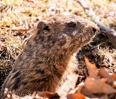 ground hog (joe_p1) Tags: animal woodchuck groundhog darlington mahwah