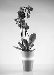 Orchid Phalaenopsis (J.Ultee) Tags: blackandwhite bw orchid 120 film mediumformat trix hc110 phalaenopsis filmcamera foldingcamera balda mamiya645protl mamiyasekor80mm mamiya80f28 superbaldar