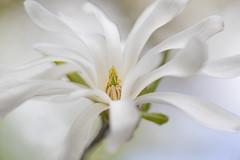 Magnolia stellata (Jane Dibnah Botanical Art) Tags: white tree spring flora blossom magnolia magnoliastellata rhshydehall