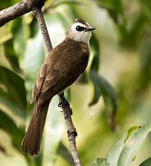 IMG_0621  Yellow-vented Bulbul (ashahmtl) Tags: thailand bangkok songbird bulbul yellowventedbulbul pycnonotusgoiavier