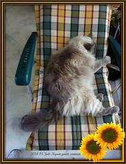 008008  Kyan gaat zonnen (Ria en Reinier) Tags: pet cats pets sun animal cat bath katten kat indoor felines animales sonne dieren huisdier zon katzen poes kater ragdoll kyan huisdieren zonneschijn zonnebaden zoogdier zonnenbad raskat