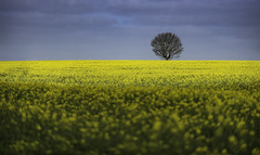 Alone in a Crowd (SimonTHGolfer) Tags: uk sky tree field weather rural landscape countryside suffolk nikon dof farm depthoffield solo single d750 agriculture isolated canola eastanglia rapeseed landscapephotography simontalbothurnphotography