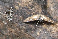 IMG_4925 Abantis elegantula (Raiwen) Tags: butterfly guinea westafrica hesperiidae pyrginae foutadjalon tagiadini abantis paradiseskipper
