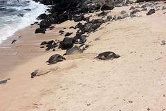2016-04-18-18 (rpierse2) Tags: hawaii turtle maui hookipa