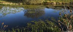 The Duchess Pond (zolaczakl ( 2 million views, thanks everyone)) Tags: uk england lake southwest reflections reeds bristol bluesky april teasels stokepark 2016 earlymorninglight nikond7100 photographybyjeremyfennell sigma1835mmf18dchsmlens theduchesspond
