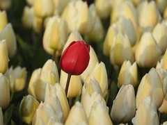 Dare to be different! (peeteninge) Tags: flowers red white flower holland nature natuur tulip rood wit flowerfields bloemen tulp bollenveld