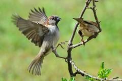 DSC_6306 (sylvettet) Tags: nature birds action sparrow moineau 2016 nikond5100