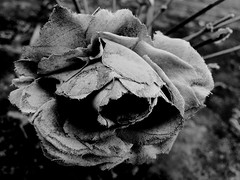 Fabric Flower (Broot - Thanks for a half million views!!) Tags: blackandwhite bw plant paris flower monochrome cemetery grave rose spring memorial mourning tomb offering april tribute montparnasse grief