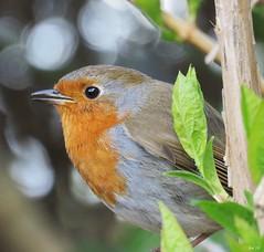 robin (kathryn Wilkins) Tags: robin spring