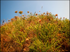 20130714-357 (sulamith.sallmann) Tags: plants plant france frankreich europa pflanze pflanzen vegetation normandie manche fra lahague bassenormandie siouville sulamithsallmann