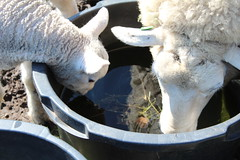 Wow i can See Myself (excellentzebu1050) Tags: animal animals closeup sheep outdoor farm newborn lamb newlife animalportraits lambs2016april