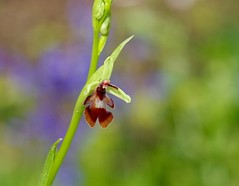 Fly Orchid among the bluebells (favmark1) Tags: kent orchids wildorchids ophrysinsectifera britishorchids flyorchid kentorchids
