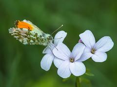 Anthocharis cardamines (maschio) (giansacca) Tags: butterfly insects lepidoptera papillon aurora mariposa farfalla insetti farfalle anthochariscardamines pieridae pieride lepidottero