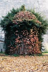 Overgrown (Katie Tarpey) Tags: autumn overgrown leaves 35mm vines kodak healesville victoria nikonfm10 kodakportra400 maroondah nikkor50mm14 maroondahreservoirpark