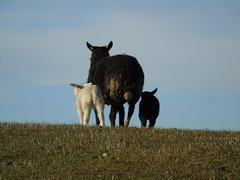 Mother and lambs (stuartcroy) Tags: white black field grass island twins orkney sheep sony lambs