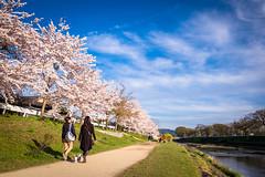 sakura '16 - cherry blossoms #18 (Kamogawa, Kyoto) (Marser) Tags: flower japan river cherry kyoto raw fuji   sakura kamogawa lightroom  xt10